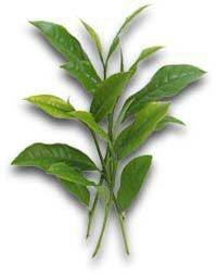 ginseng ceai pret